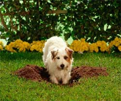 dog digging lawn